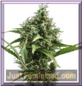 CBD Seeds Auto Amnesia Female Cannabis Strain Buy Online